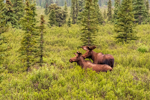 Mommy and Daddy Moose