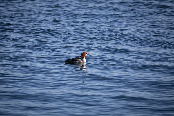 Common Merganser - Cowichan Valley, Vancouver Island, British Columbia, Canada
