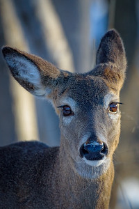 Doe-eyed Deer