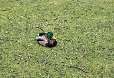 "Duck - Beacon Hill Park, Victoria BC Canada Visit our blog ""Duck!!"" for the story behind the photo."