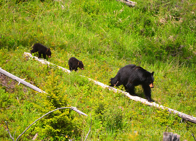 black bear mother and 2 cubs 1