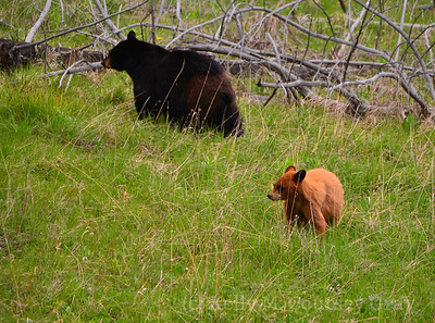 black bear mother and cub 1 (2)
