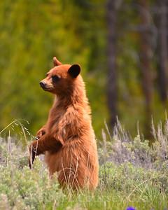 baby black bear 1