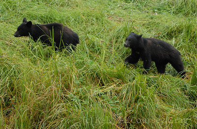 2 black bear cubs 2
