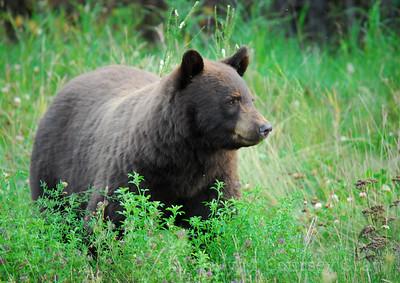 brown black bear 5