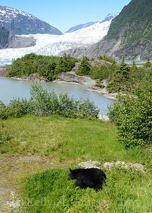 black bear with the mendenhall glacier