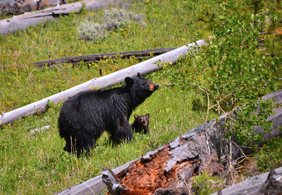 black bear mother and 2 cubs 8