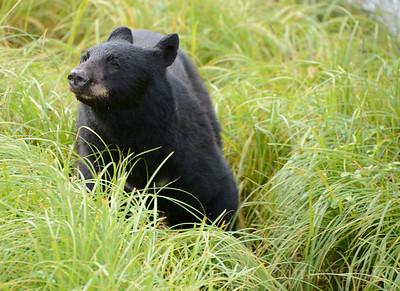black bear ketchikan 3