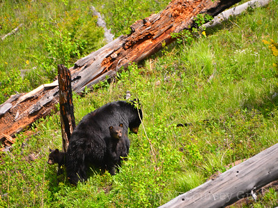 black bear mother and 2 cubs 5