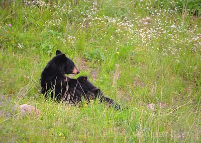 black bear mother nursing 2