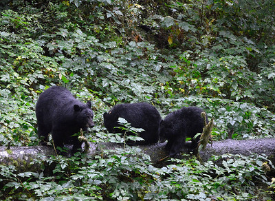 18 black bear mother and babies 3