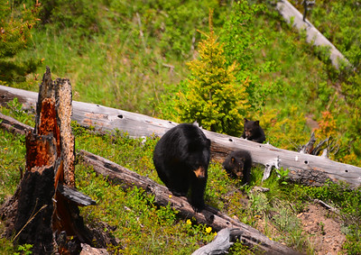 black bear mother and 2 cubs 3