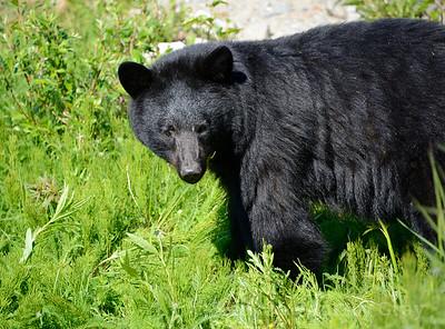 black bear portrait 1
