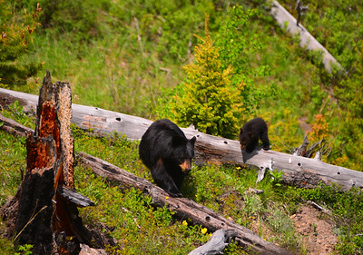 black bear mother and 2 cubs 2