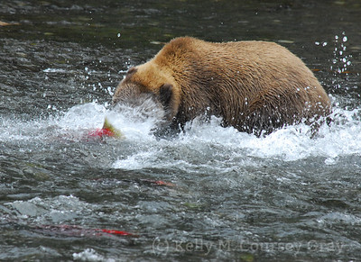 bear in the river catching the fish 1