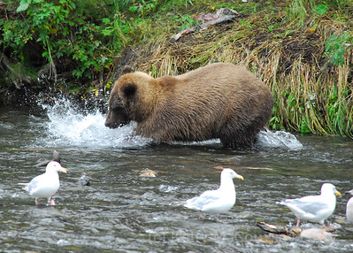 bear fishing in the river 2