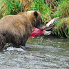 bear with red salmon russian river