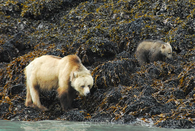 griz and baby vancouver island