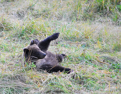 bear rolls over 1