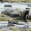 standing bear on a rock with a fish 2