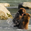 bears fighting in water