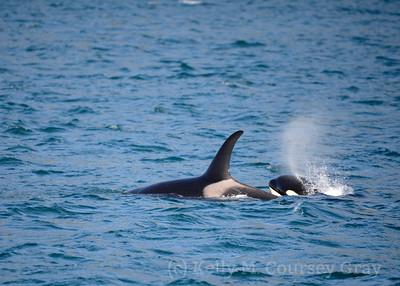kenai fjords orca baby 2