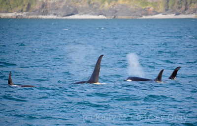 kenai fjords orca together 2