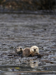 otter mom pup 5
