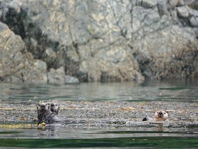 sea otters 6