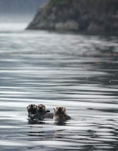 sea otters 7
