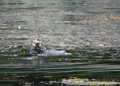Inian Sea Otter mom and pop 1