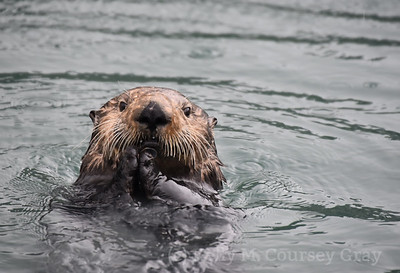 sea otter eating clam 7