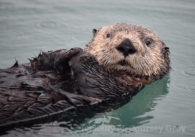 sea otter 3