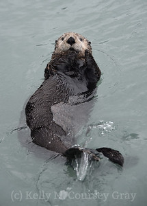 sea otter portrait 3