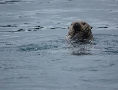 sea otter 4