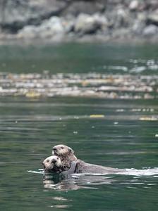 sea otters 8