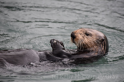 sea otter eating clam 8