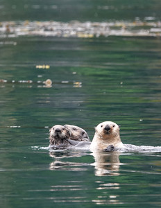 sea otters 9