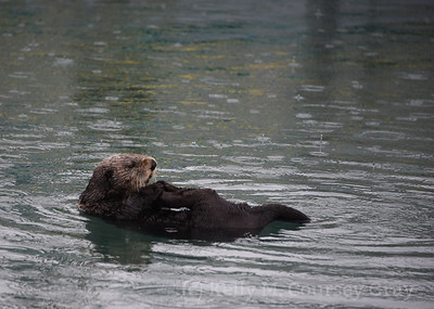 1 otter cleaning 1