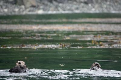 sea otters 3