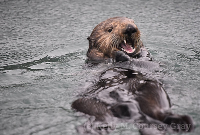 sea otter eating 2