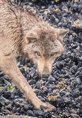 Rainy Day Wolf