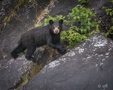 Young Black Bear on a Rainy Day