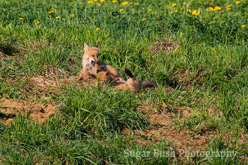 Red Fox Puppies Playing