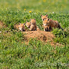 Foxes on Alert