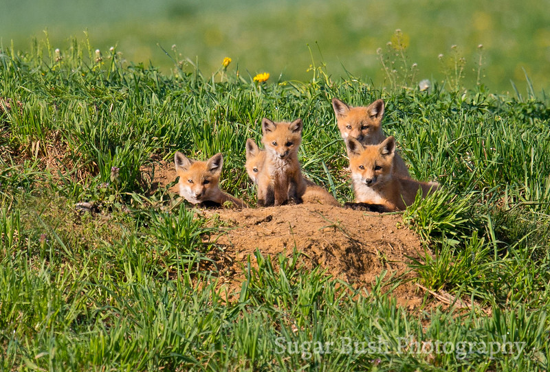 Five Little Foxes