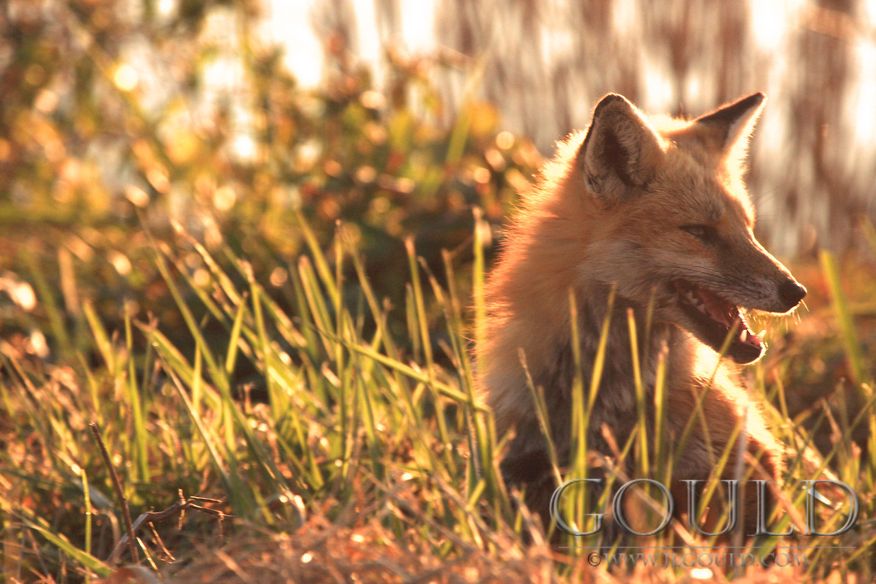 Fox In The Sun