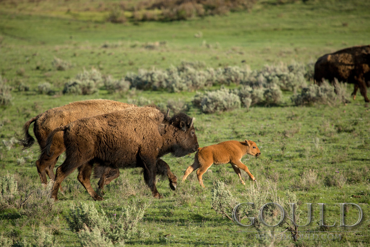 Yellowstone Bison 7871