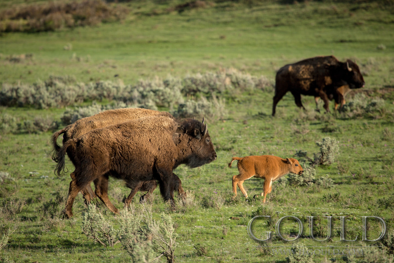 Yellowstone Bison 7872