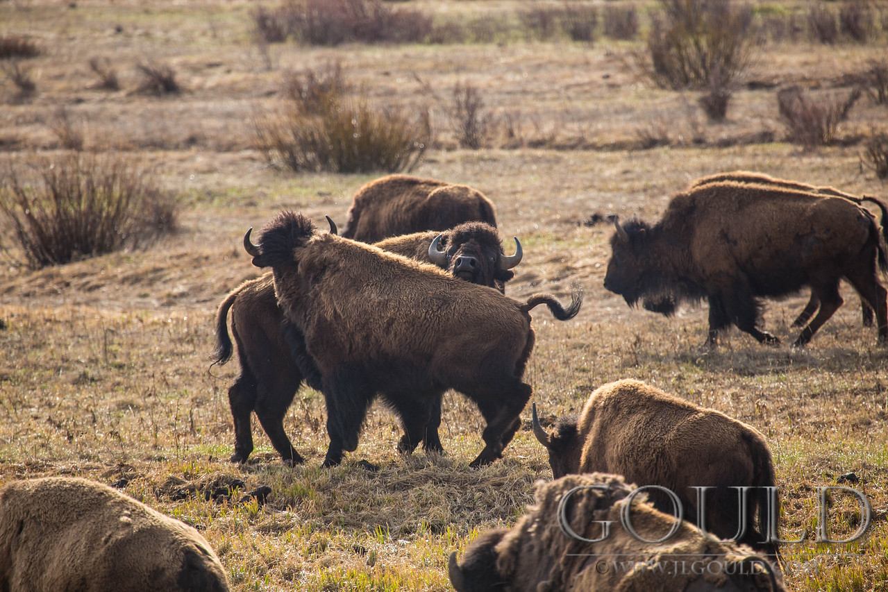 Bison Tussle